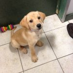 Labrador Retriever: Meet Emma